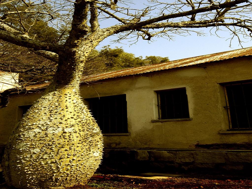El tronco de la Chorisia speciosa es espinoso