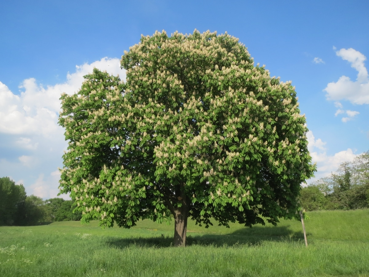 El Aesculus hippocastanum es un árbol grande