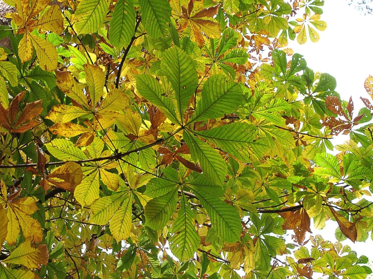 El Aesculus hippocastanum se vuelve amarillo en otoño