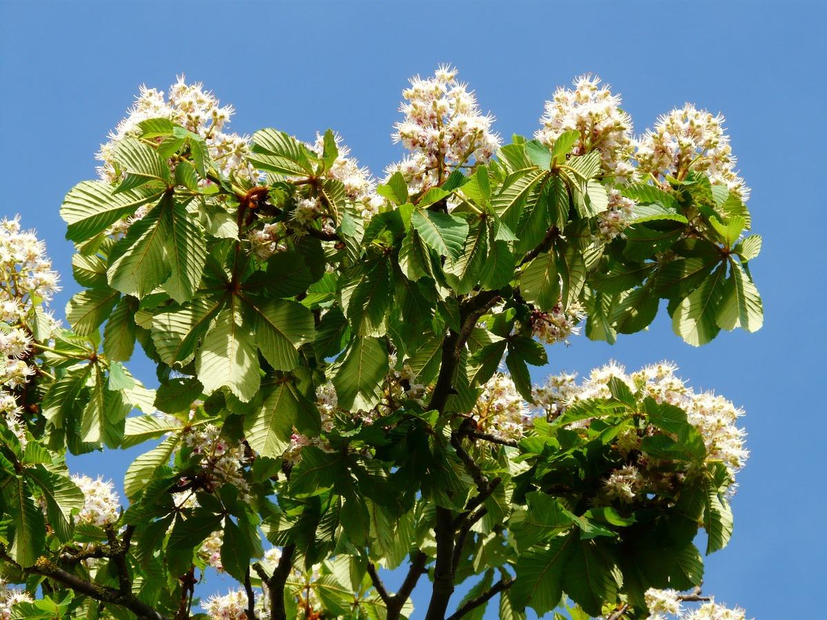 Las flores del Aesculus hippocastanum son blancas
