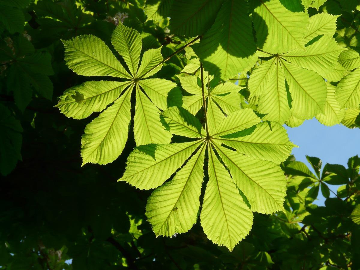 Las hojas del Aesculus hippocastanum son lobuladas