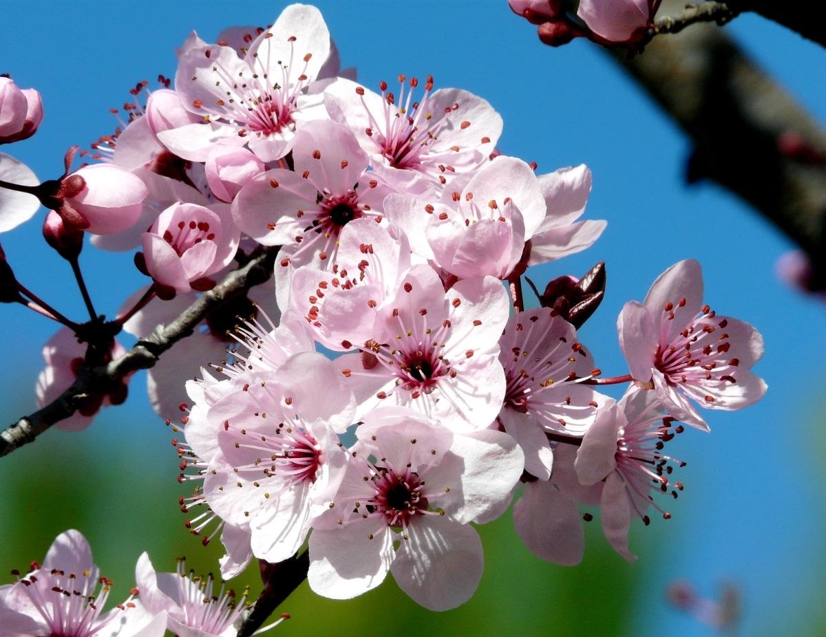 El Prunus pissardi tiene flores rosadas