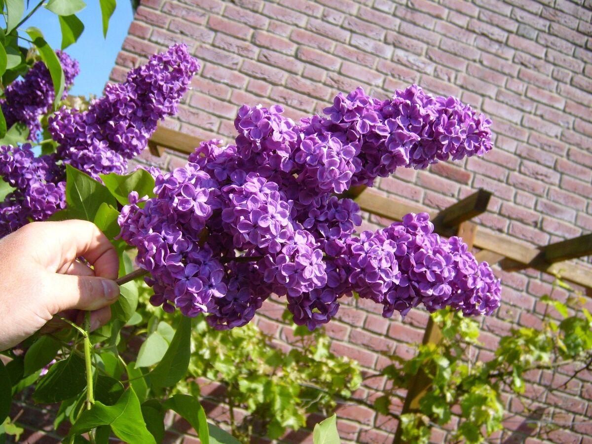 Las flores de la lila común son lilas o blancas