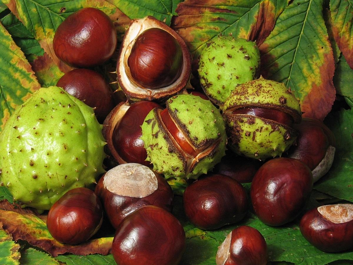 Los frutos del castaño de Indias se redondeados