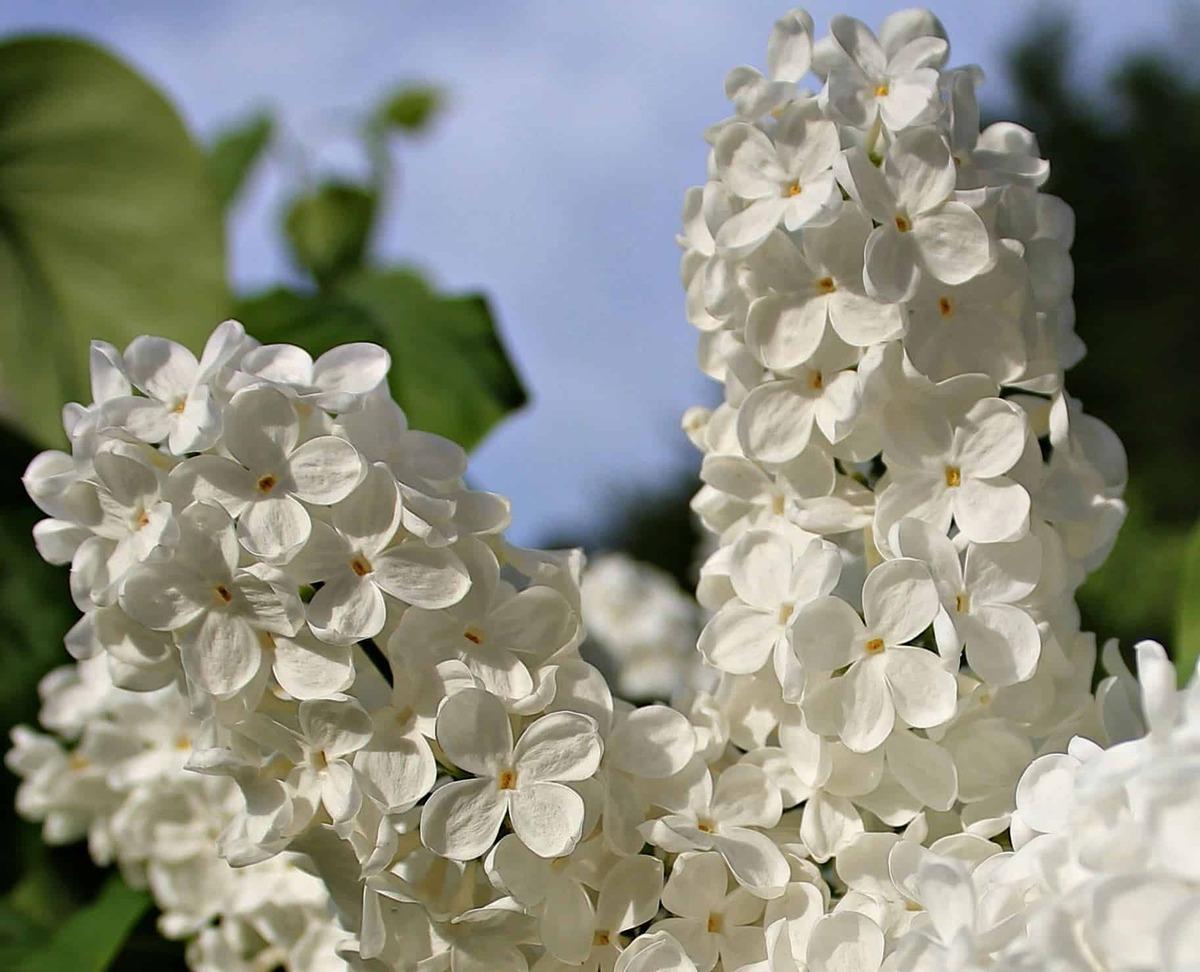 La Syringa vulgaris es un árbol de flores preciosas
