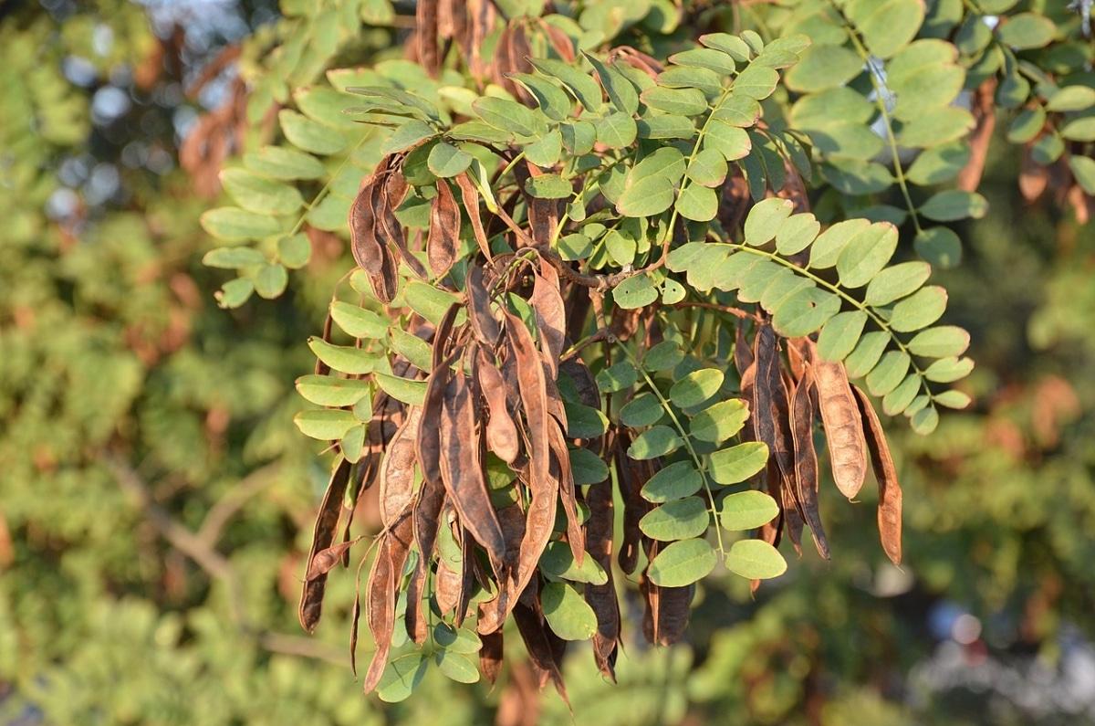 La Robinia pseudoacacia tiene frutos en forma de legumbre