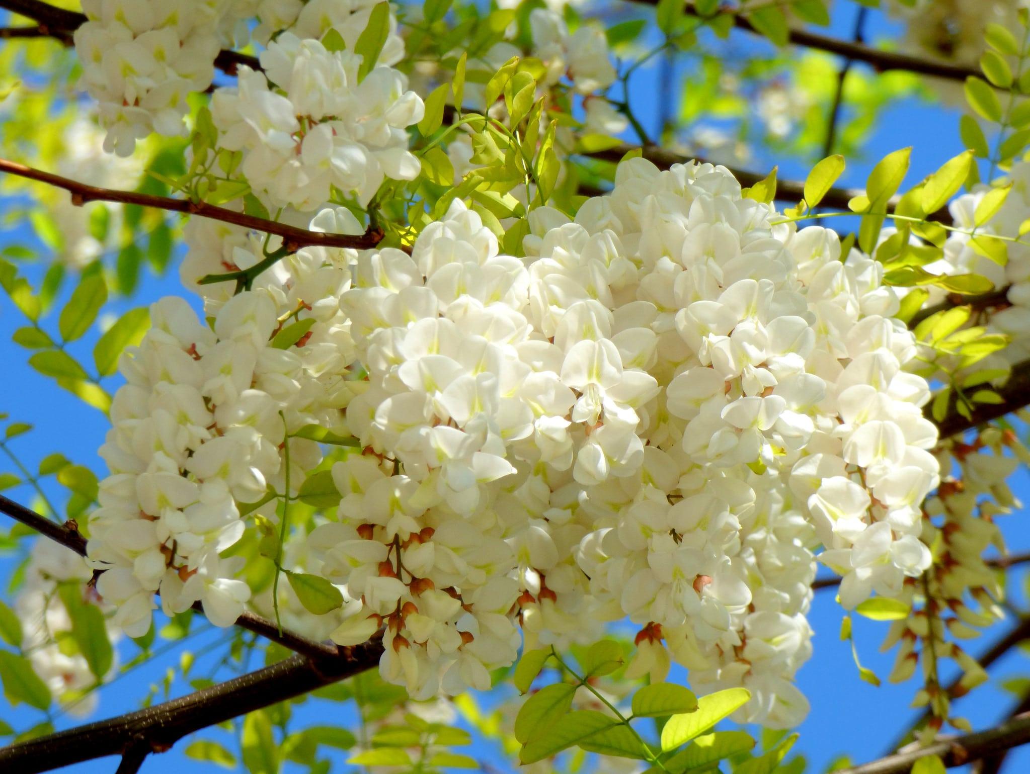 La Robinia pseudoacacia es un árbol de hoja caduca