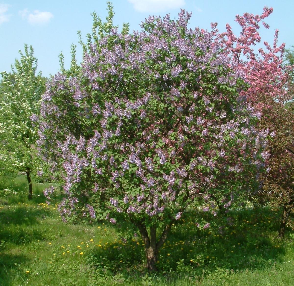 La Syringa vulgaris es un árbol pequeño