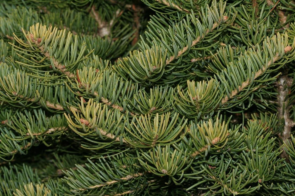 El Abies concolor es una planta grande