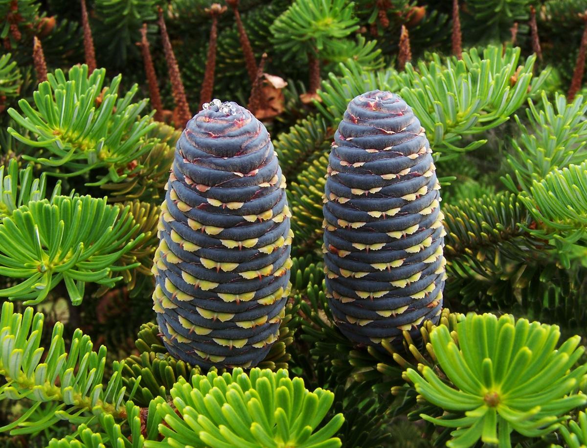 El Abies koreana tiene los conos púrpuras-azulados