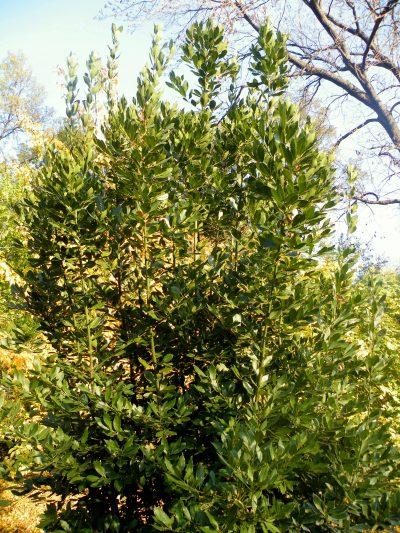 El laurel es un árbol de jardín