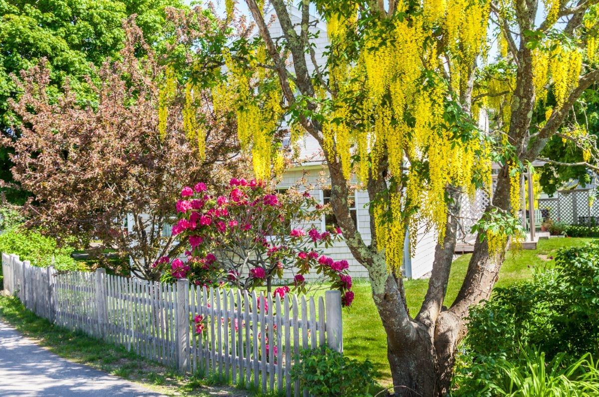 El árbol lluvia de oro es una planta caducifolia