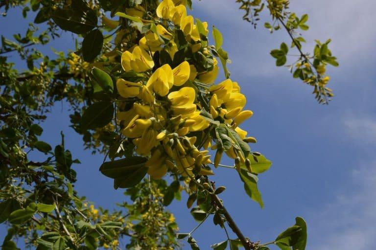 La lluvia de oro es un árbol caducifolio