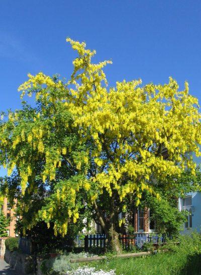 La lluvia de oro es un árbol pequeño