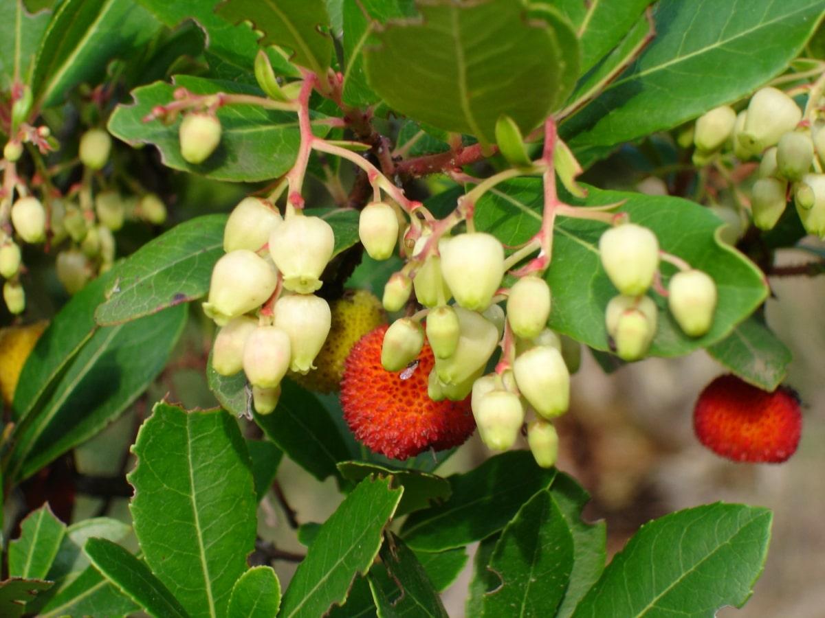 El madroño es un árbol frutal pequeño