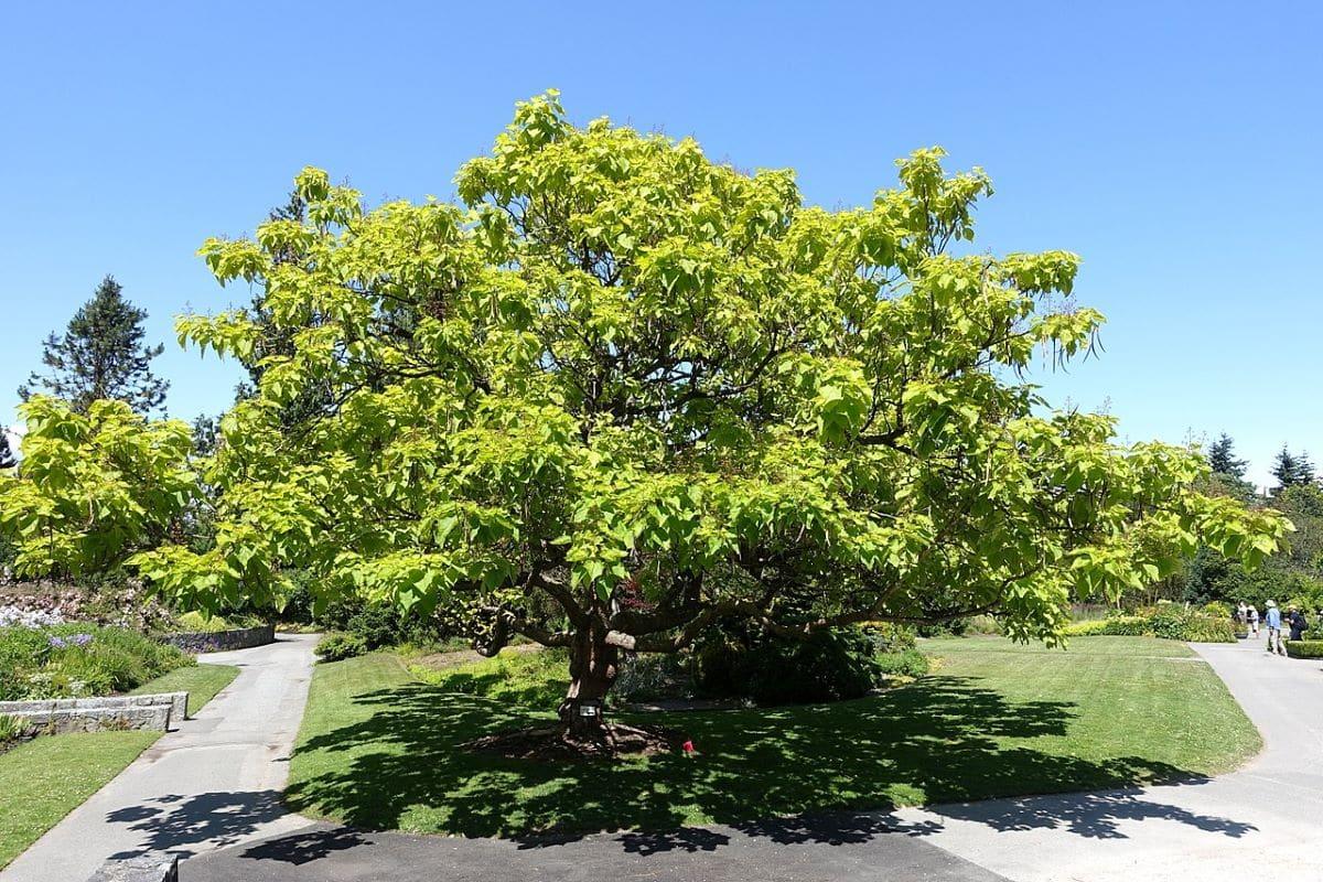 La Catalpa es un árbol caducifolio