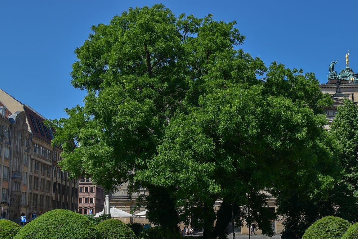 La sófora japonica es un árbol grande