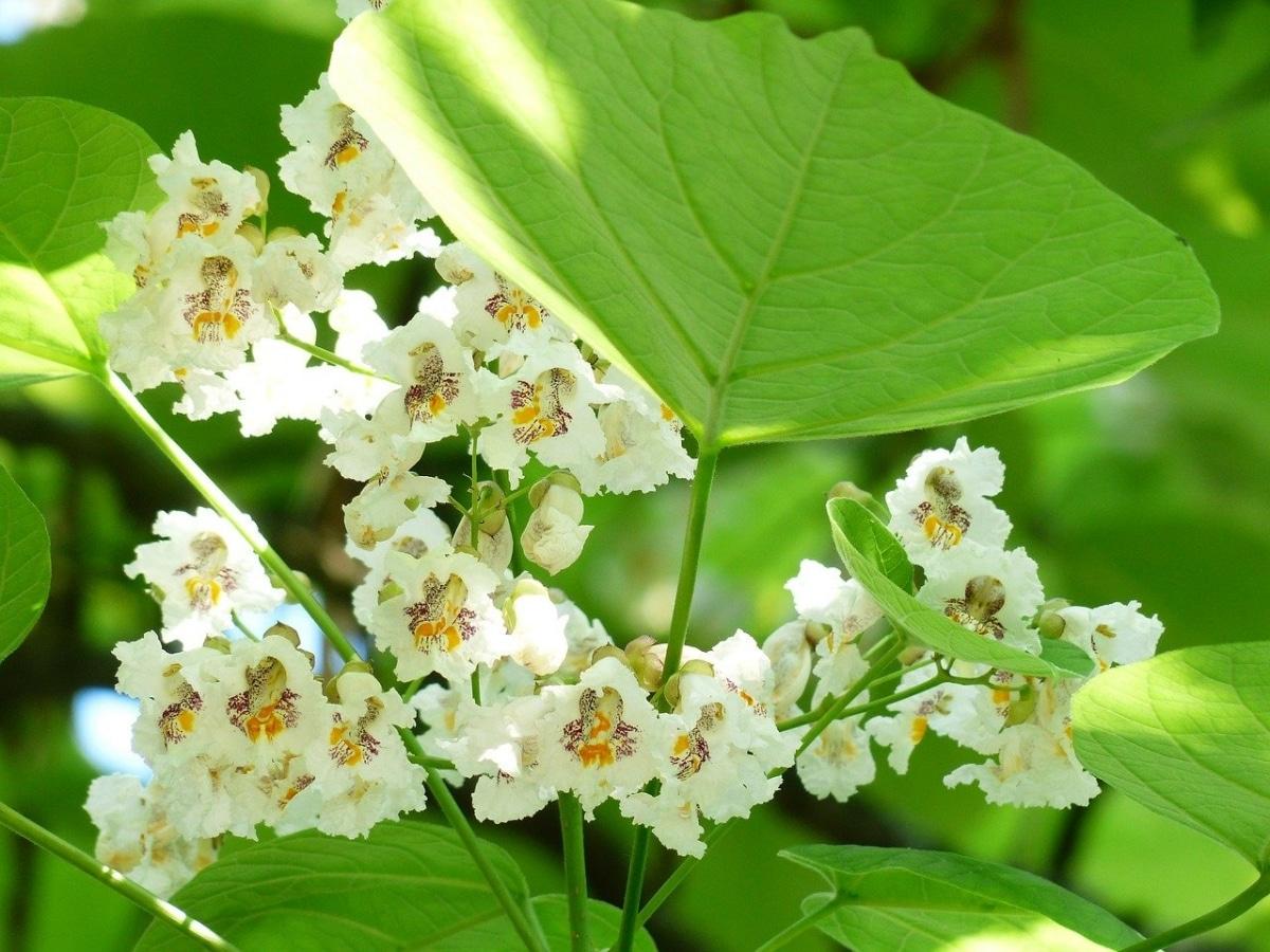 Las flores de la Catalpa son blancas