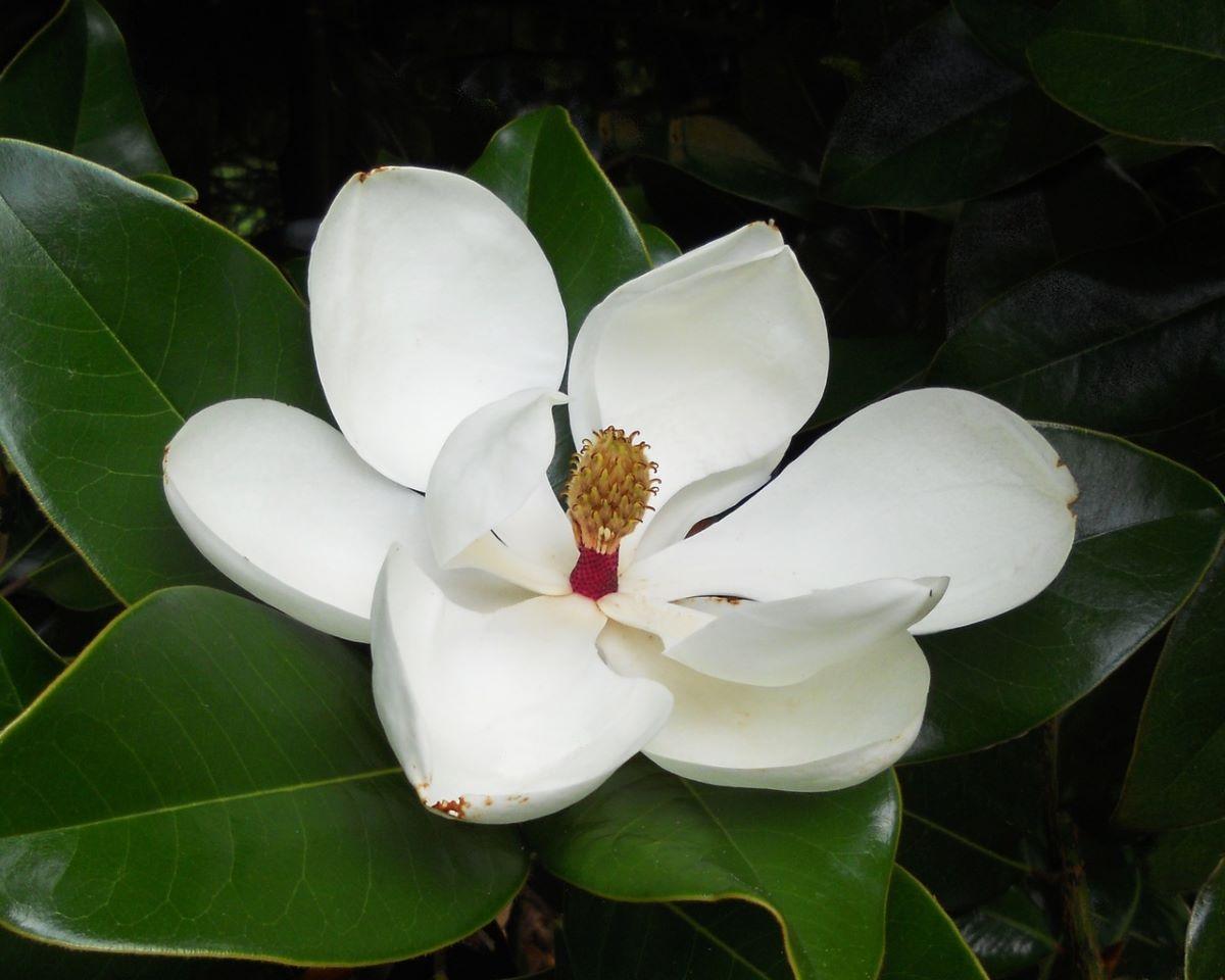 La flor de Magnolia grandiflora es grande y blanca