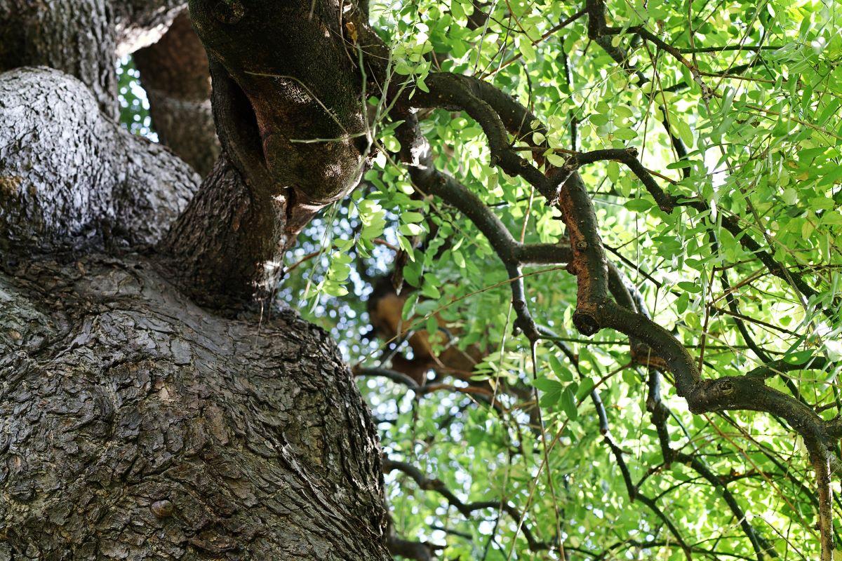 La Sophora japonica es un árbol caducifolio