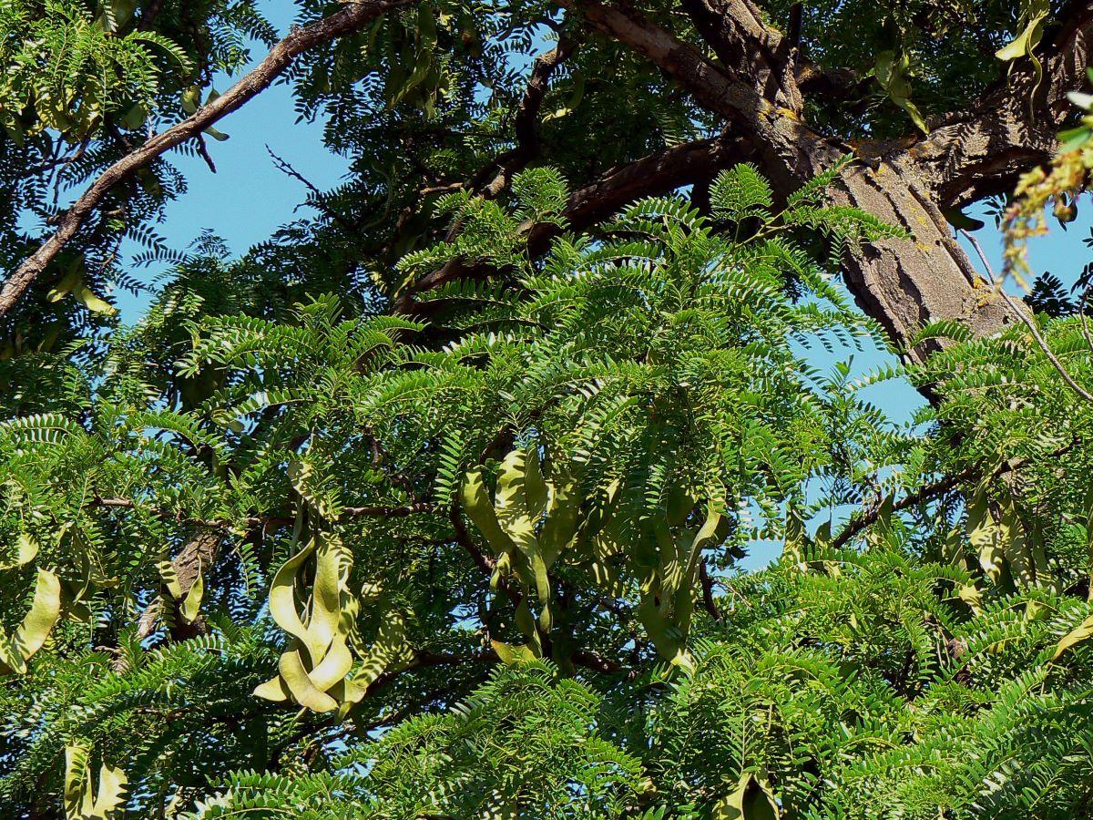 La acacia de tres espinas es un árbol grande