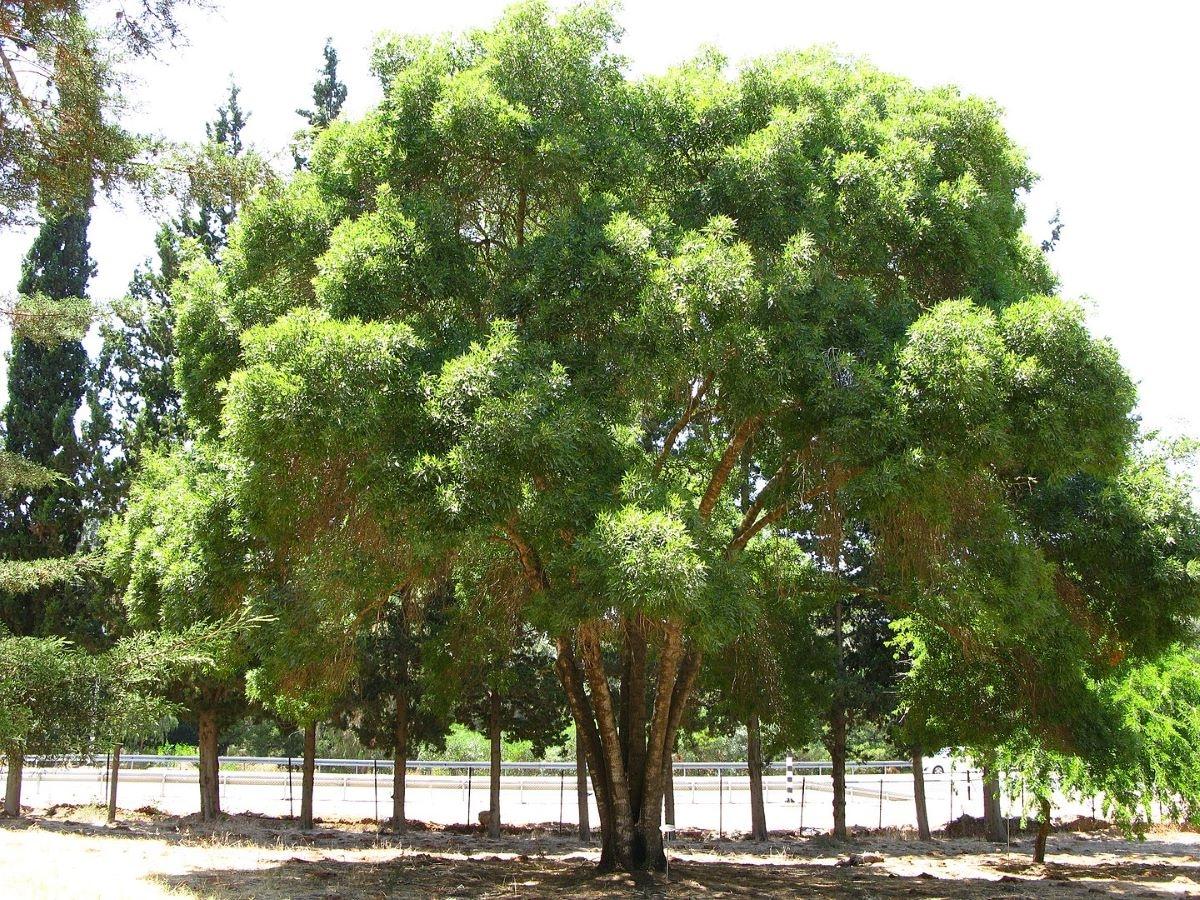 El Fraxinus angustifolia es un árbol caduco