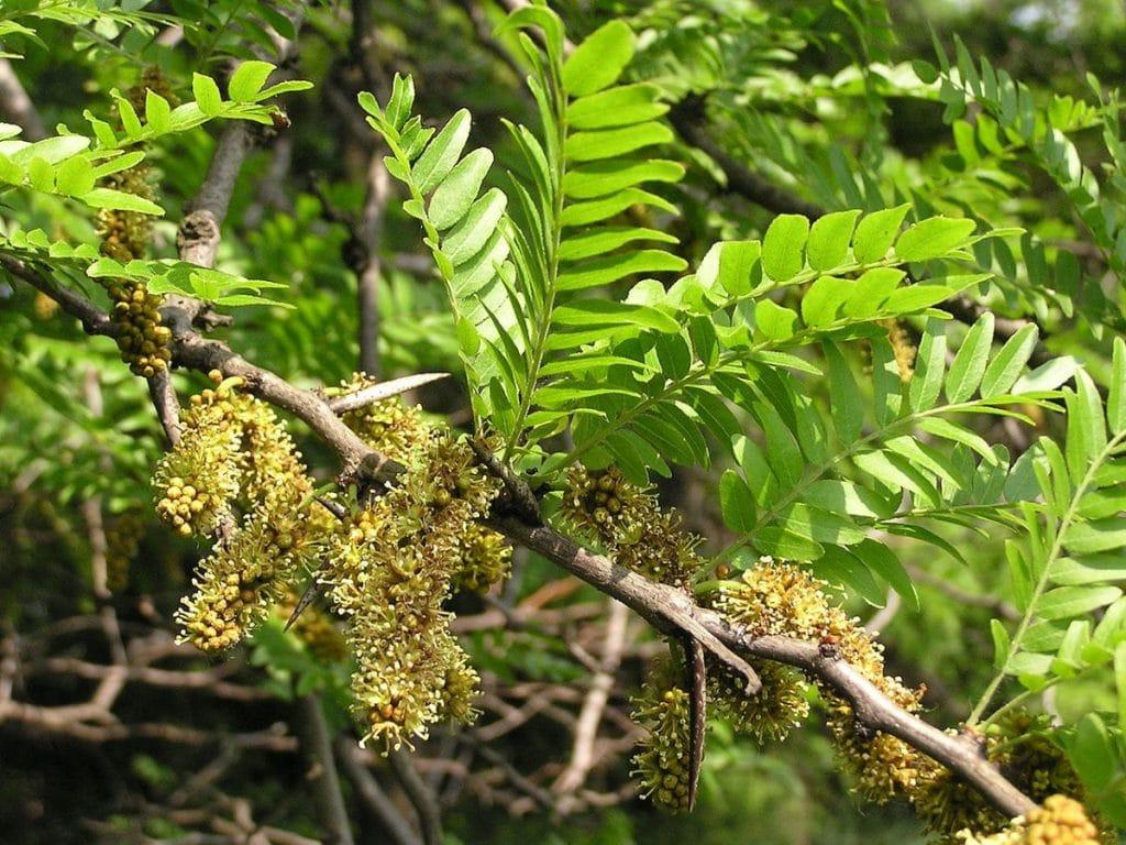 La Gleditsia triacanthos es un árbol grande