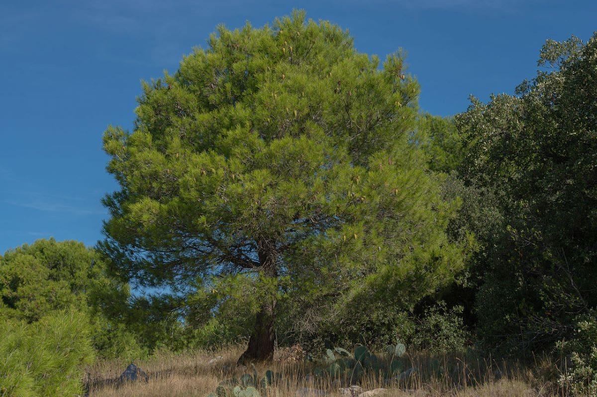 El pino carrasco es una conífera perenne