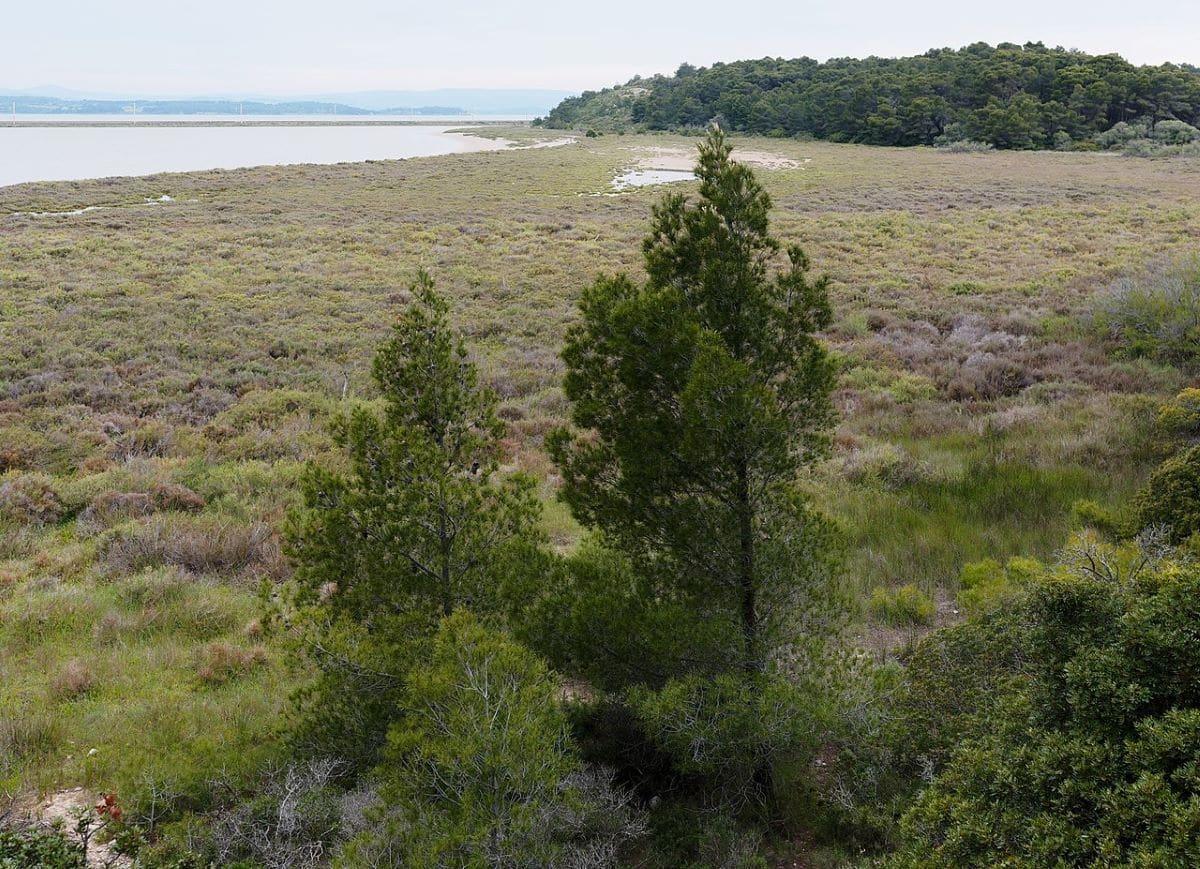El Pinus halepensis vive en las playas