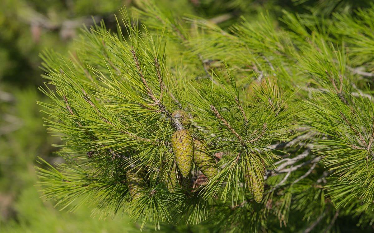 El Pinus halepensis es una conífera alta