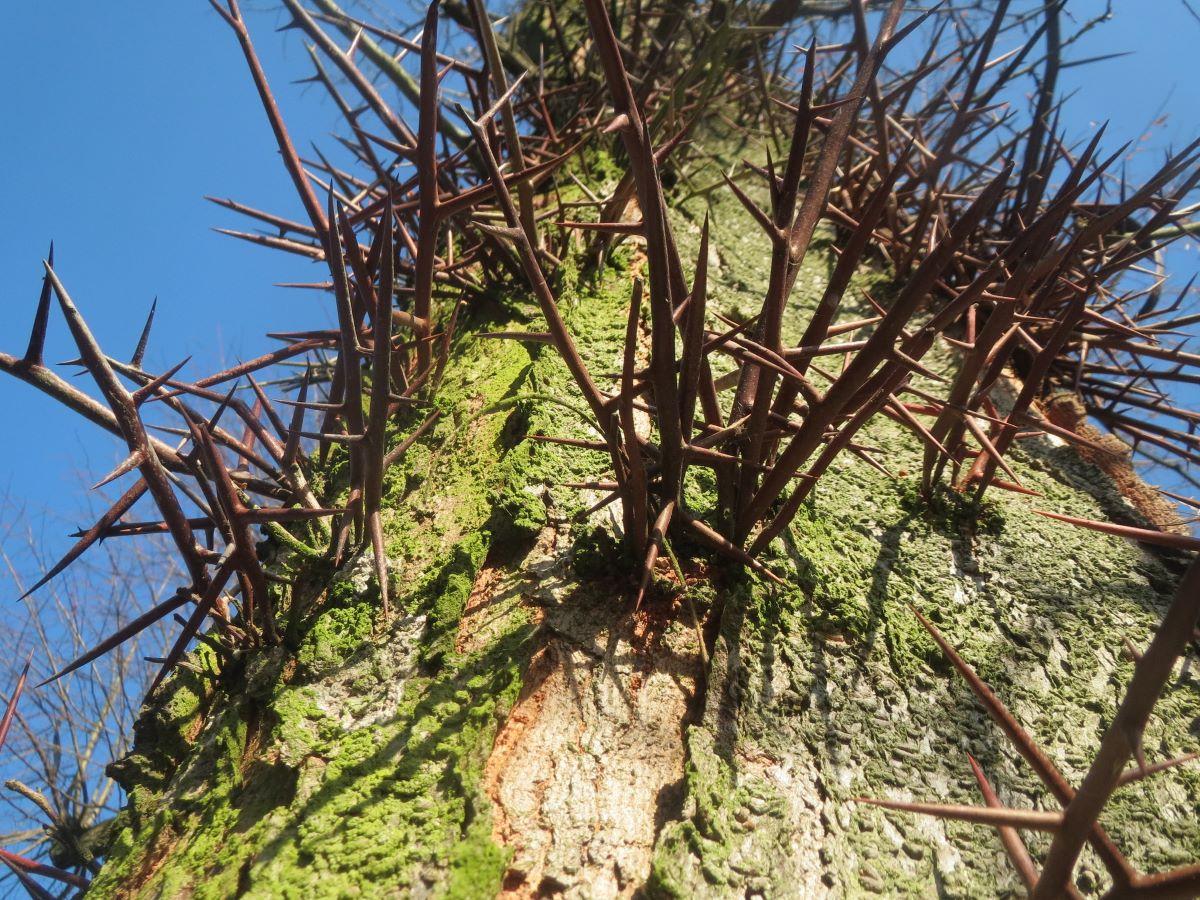 La Gleditsia triacanthos es un árbol espinoso