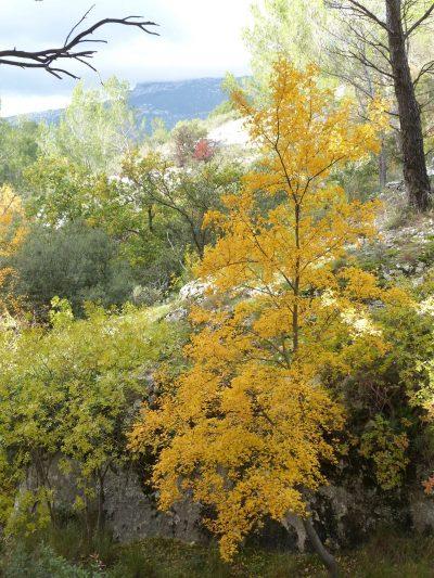 El Acer monspessulanum se vuelve amarillo en otoño