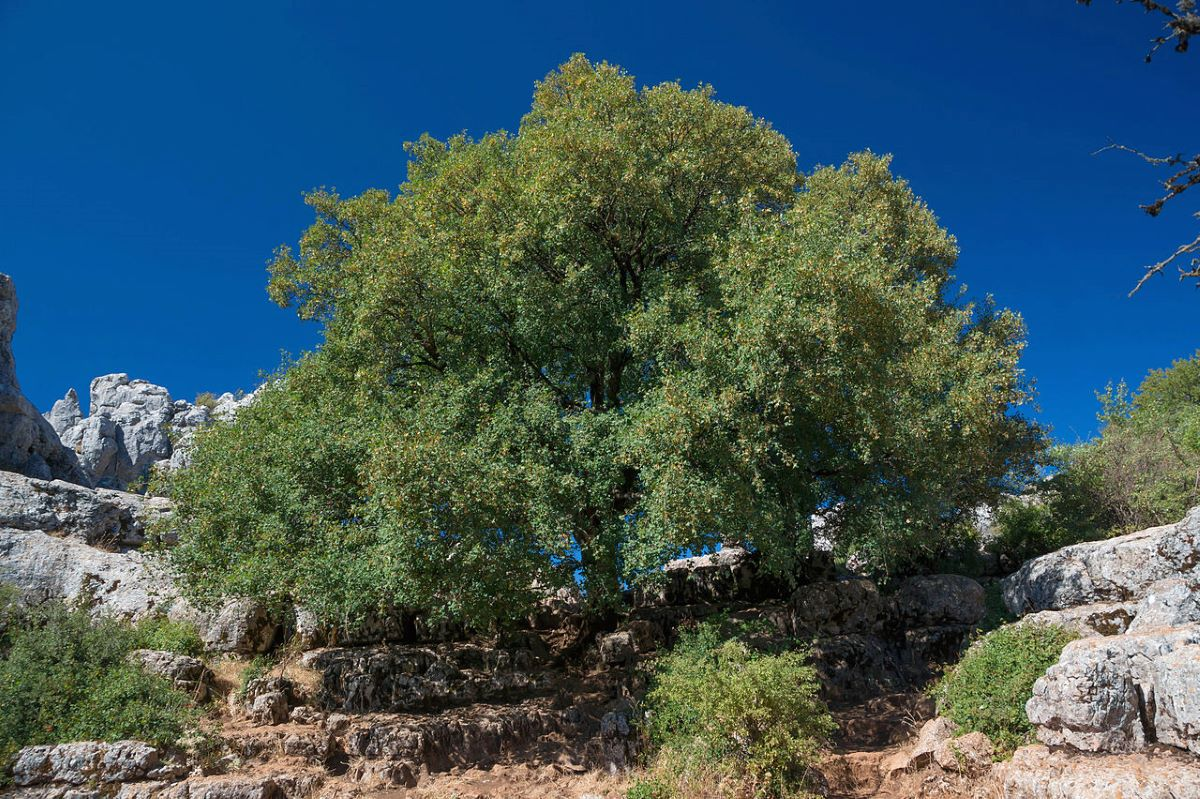 El arce de Montpelier es un árbol