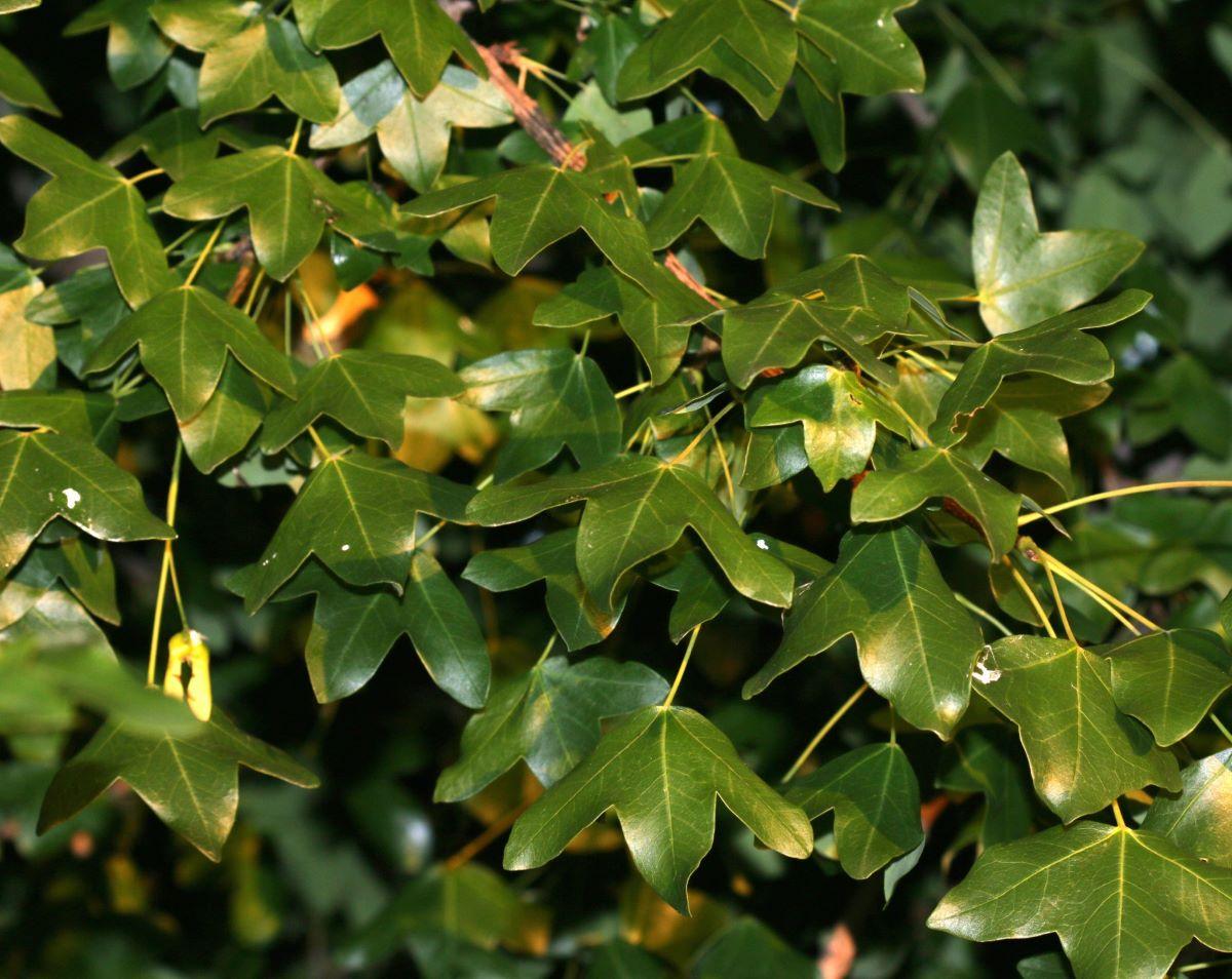 Las hojas del Acer monspessulanum son caducas
