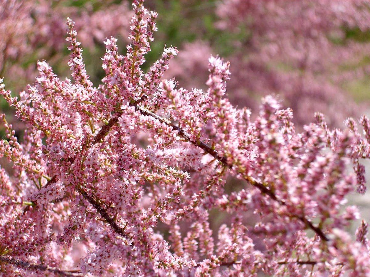Las flores del taray son pequeñas