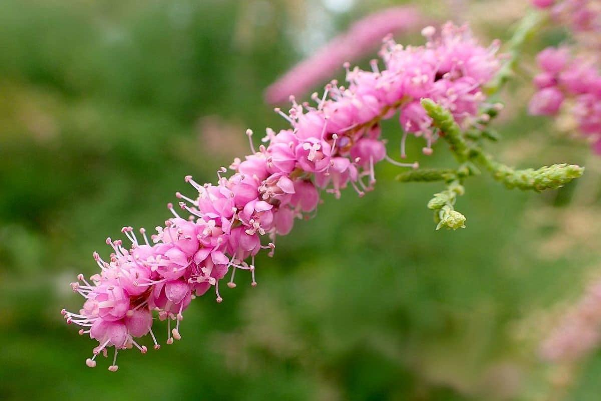 Las flores del taray son rosas
