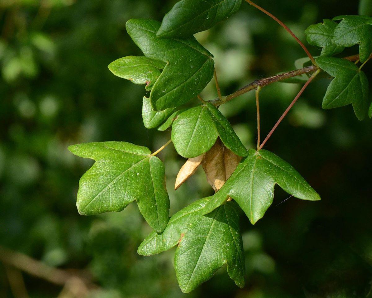 Las hojas del arce de Montpelier son pequeñas