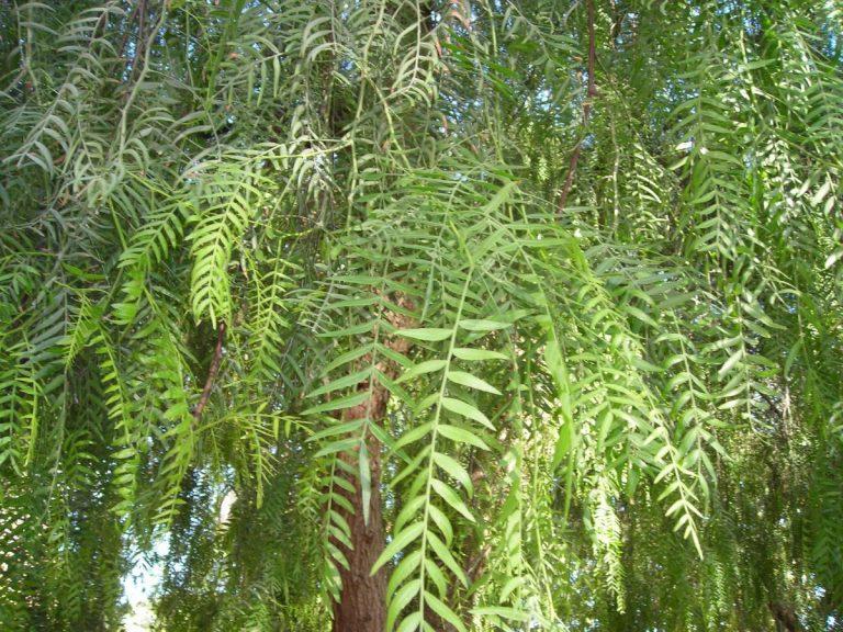 Las hojas del Schinus molle son perennes
