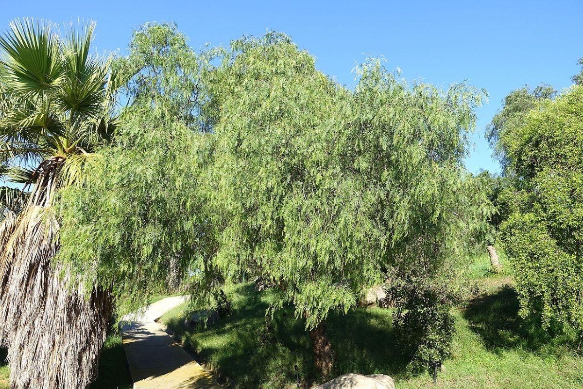 El Schinus molle es un árbol de rápido crecimiento