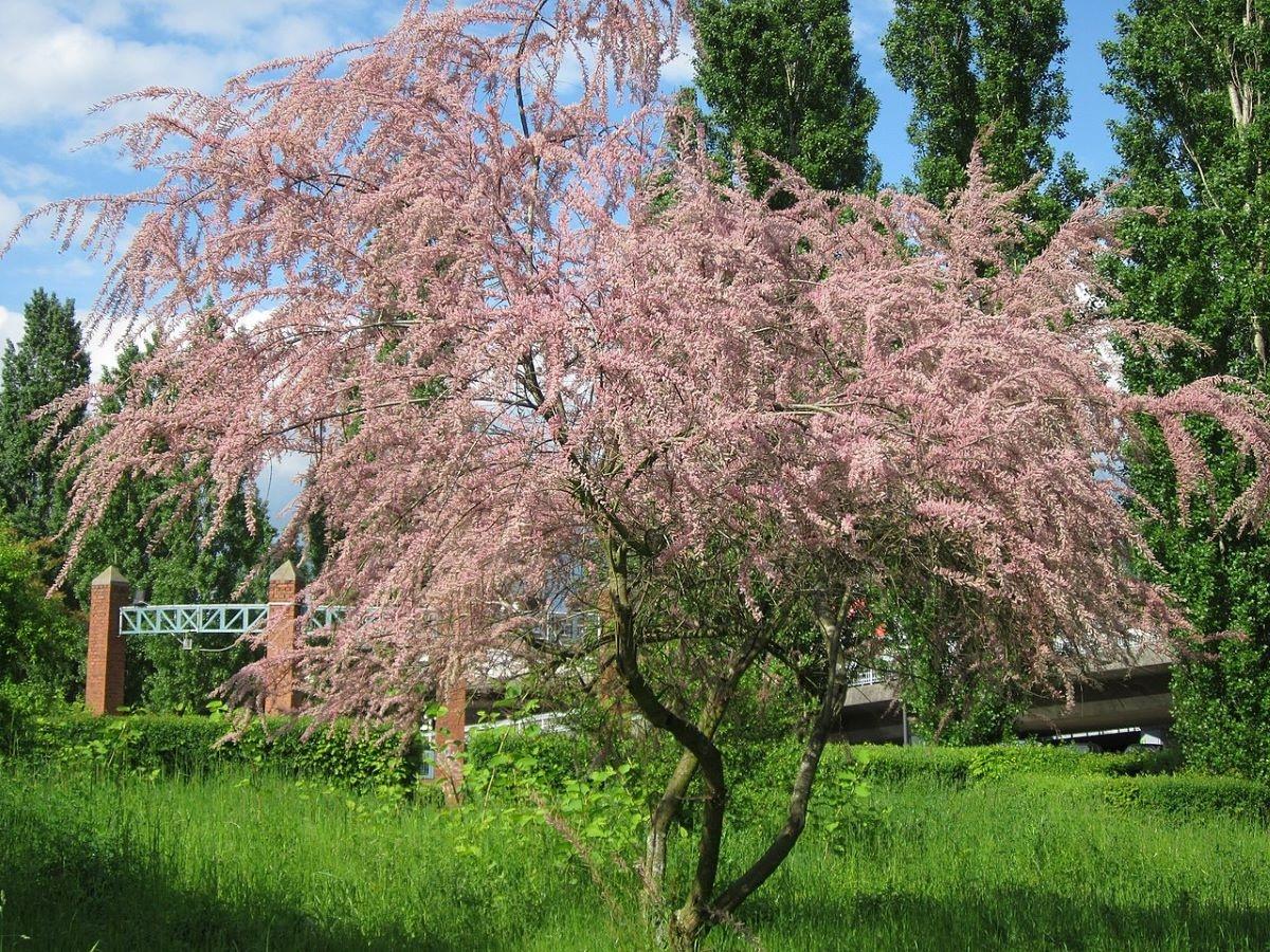 El taray es un árbol caducifolio