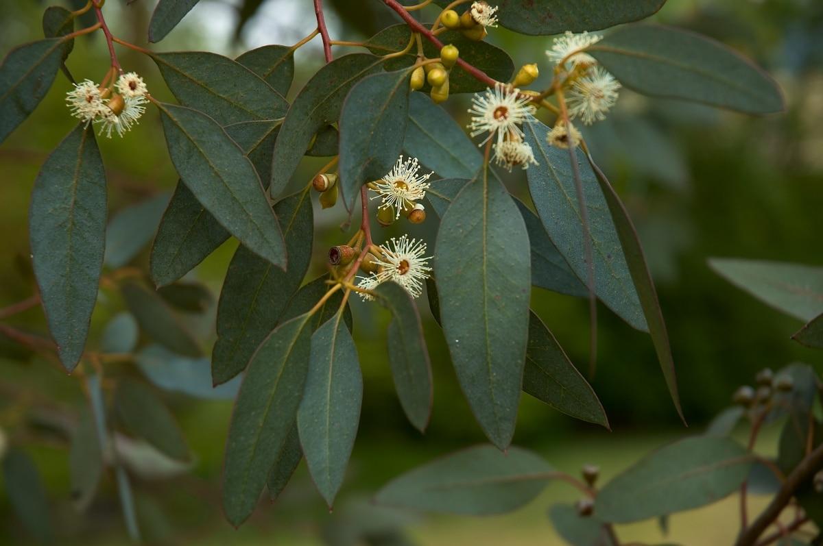 Las hojas del eucalipto azul son ovadas