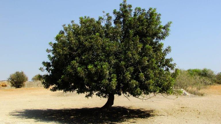 El algarrobo es un árbol muy resistente