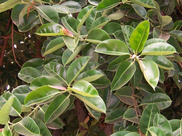 Las hojas del Ficus elastica son perennes