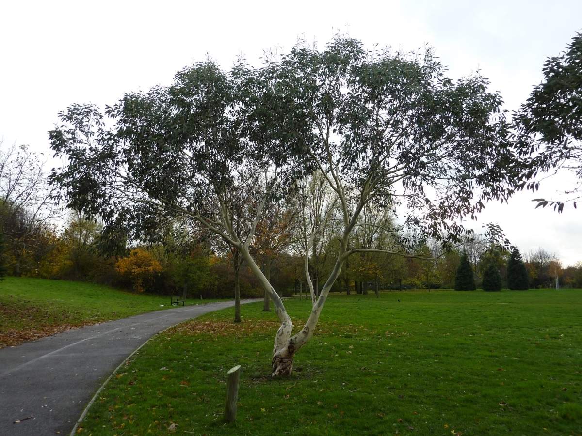 El gomero azul es un árbol grande