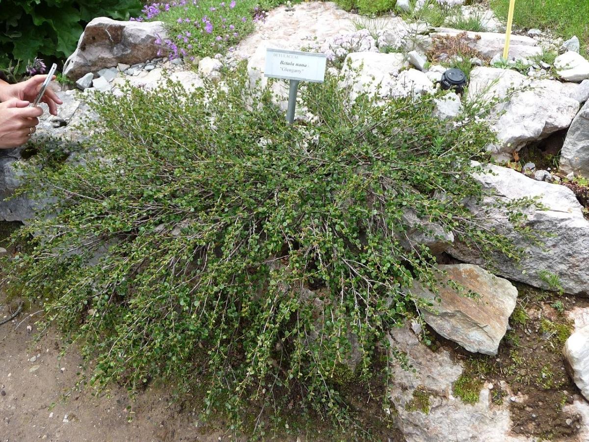 La Betula nana es un arbusto pequeño
