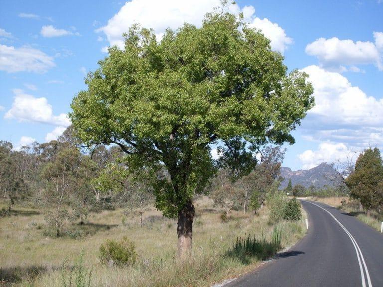 El brachychiton populneus es un árbol de rápido crecimiento