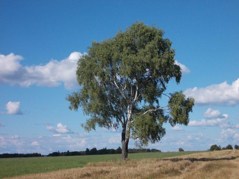 El abedul es un árbol de rápido crecimiento