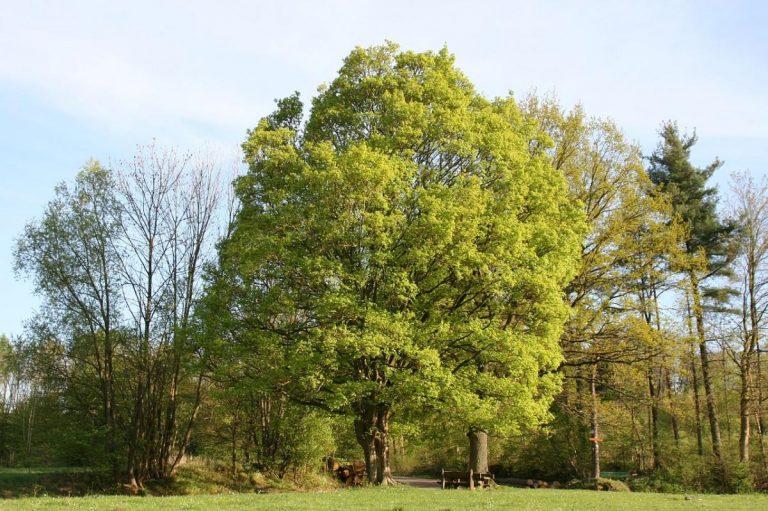 El Acer campestre es un árbol caducifolio