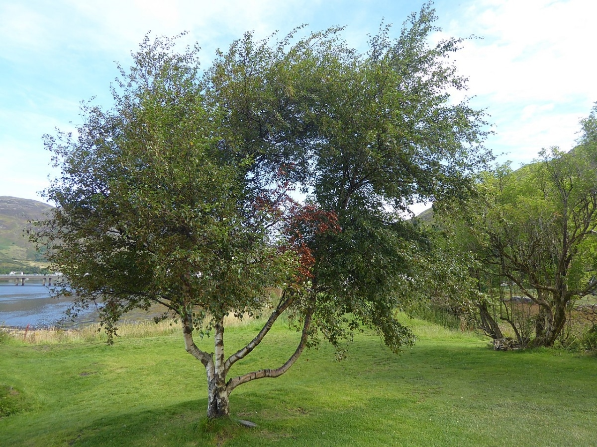 El Betula pubescens es un árbol caducifolio