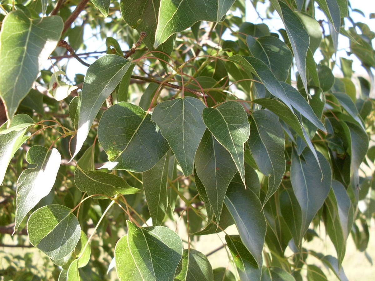 El Brachychiton populneus es un árbol semi perenne